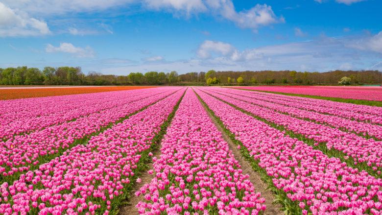 Амстердам в апреле утопает в тюльпанах